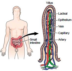 villus the functional unit of the small intestine A tiny lymph vessel extending into the core of an intestinal villus and serving as blood from the small intestine to functional unit of liver.