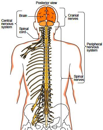 Anatomic divisions of the nervous system