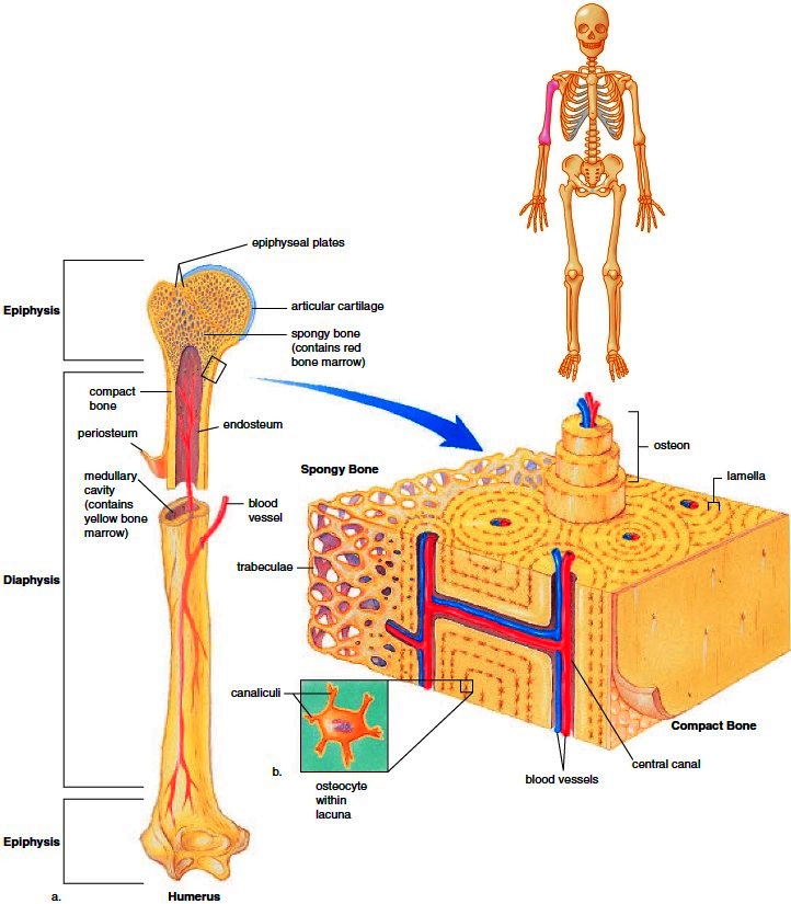 Skeleton Overview. Functions of the Skeleton. Bone Anatomy