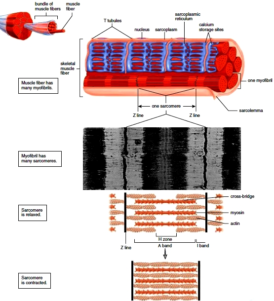 Microscopic Anatomy And Contraction Of Skeletal Muscle