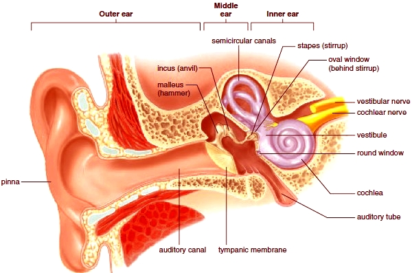 Sense Of Hearing Anatomy Of The Human Ear