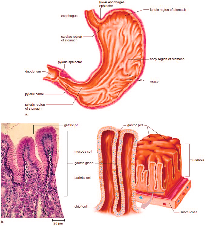 Stomach Anatomy And Histology Of The Stomach