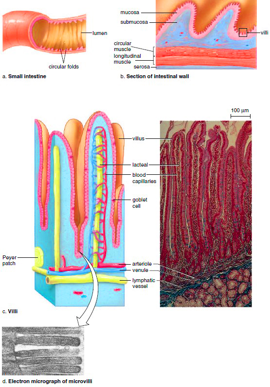 Small Intestine. Anatomy of the Small Intestine