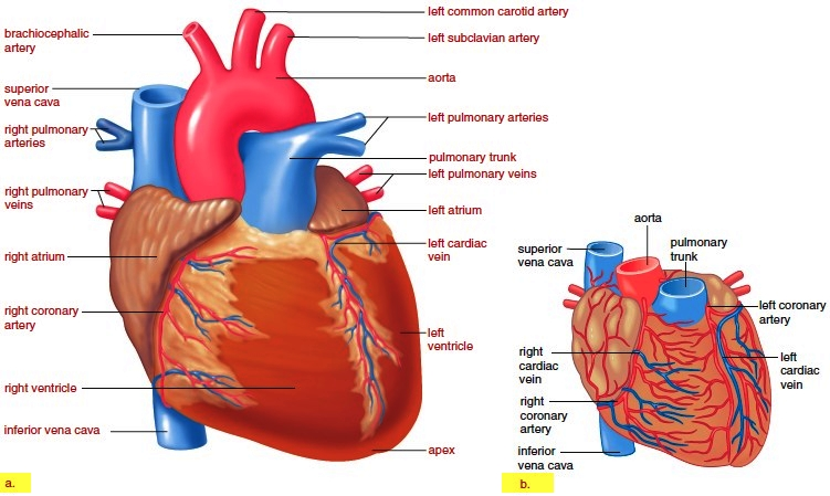 Operation of the heart valves for Exterior of heart diagram