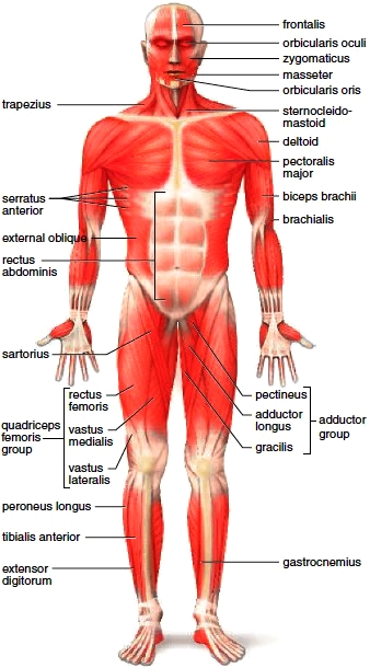 Anterior view of the body's superficial skeletal muscles
