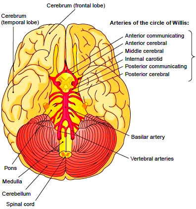 Arteries that supply the brain