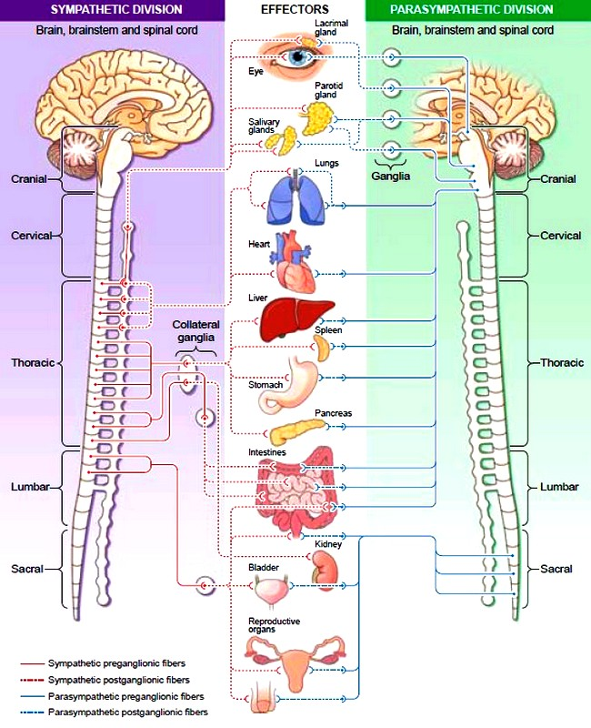 The autonomic nervous system ans sympathetic and parasympathetic autonomic nervous system ccuart Gallery