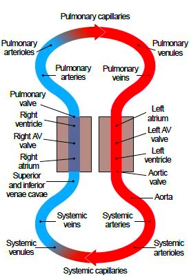 Blood flow in a closed system of vessels