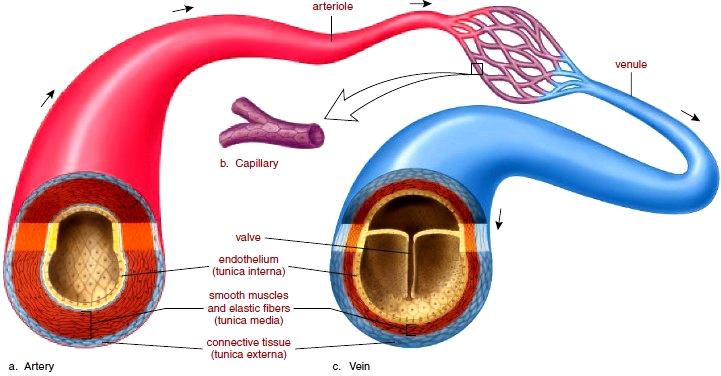 Blood Vessels  Anatomy Of Blood Vessels