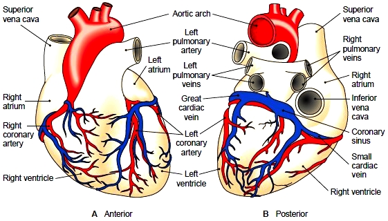Blood vessels that supply the myocardium