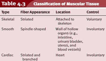 Classification of Muscular Tissue