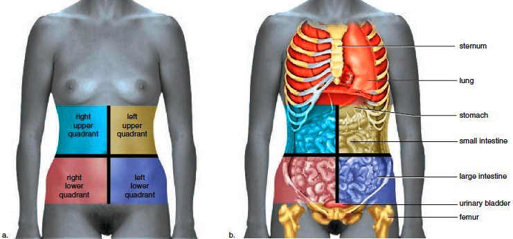 Clinical subdivisions of the abdomen into quadrants