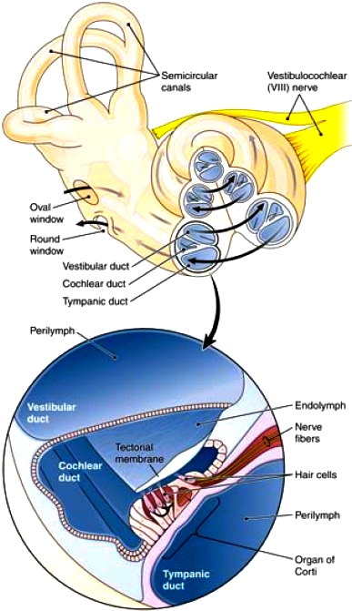 Cochlea and the organ of Corti