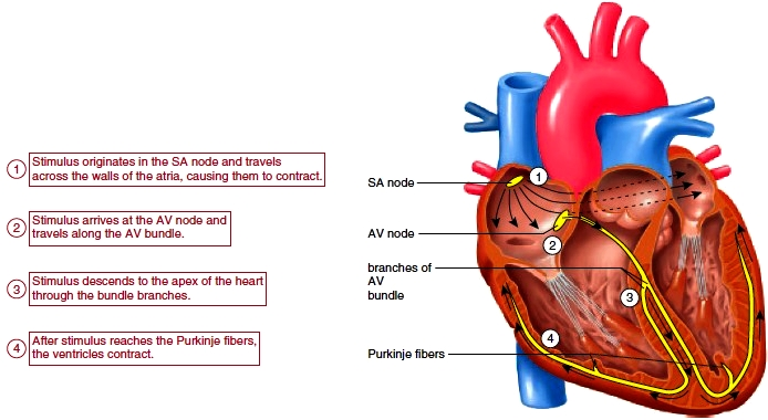 Physiology Of The Heart Physiology Of The Normal Heart