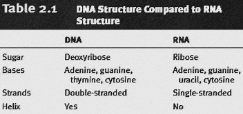 DNA Structure Compared to RNA Structure