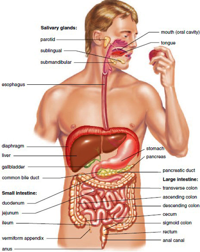 Anatomy of the Digestive System on pancreas location in female