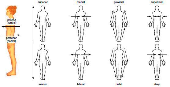 Picture Anatomical Position Human Body http://encyclopedia.lubopitko-bg.com/Anatomical_Terms.html