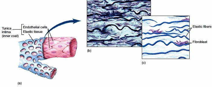 Connective Tissue Diagram Labeled Elastic connective tissue