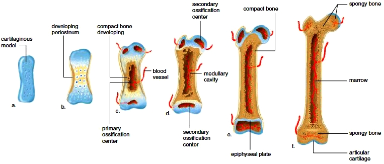Endochondral ossification of a long bone