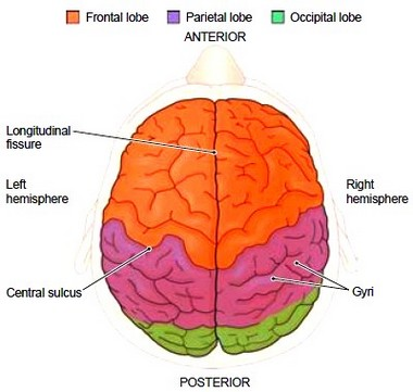 The brain protective structures of the brain cerebrospinal fluid external surface of the brain superior view ccuart Images
