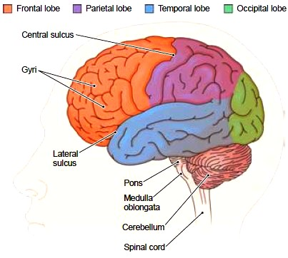 The Cerebral Hemispheres. Functions of the Cerebral ...