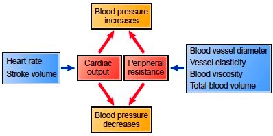 Factors that influence blood pressure