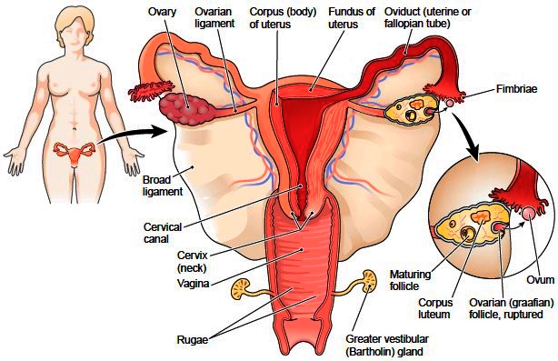 Female Sex Organs