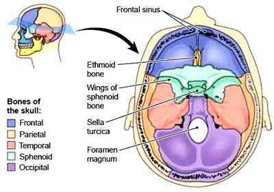 Floor of cranium