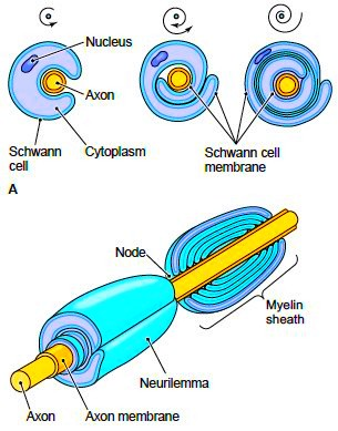 Formation of a myelin sheath