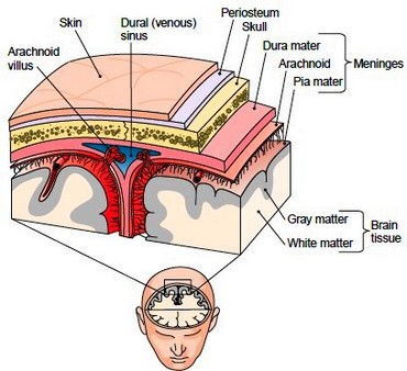 The Brain Protective Structures Of The Brain Cerebrospinal Fluid