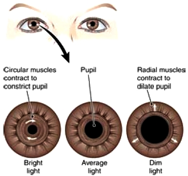 Function of the iris