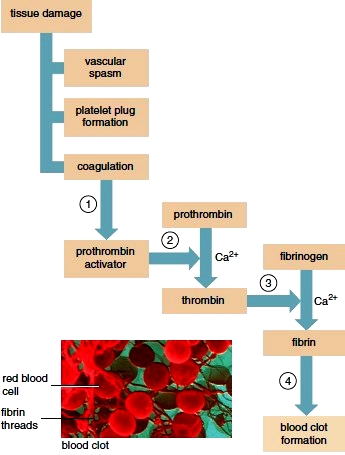 Events of Hemostasis