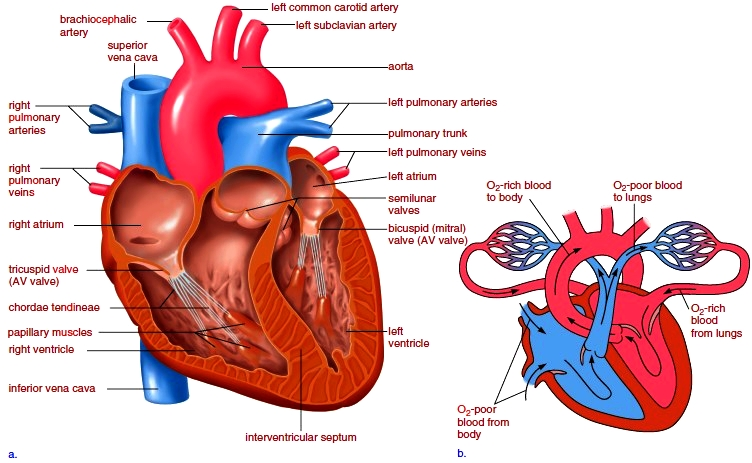 Human Heart. Anatomy of the Heart. Cardiovascular System