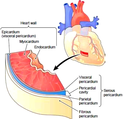Layers of the heart wall and pericardium