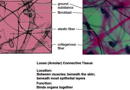 Loose (areolar) connective tissue