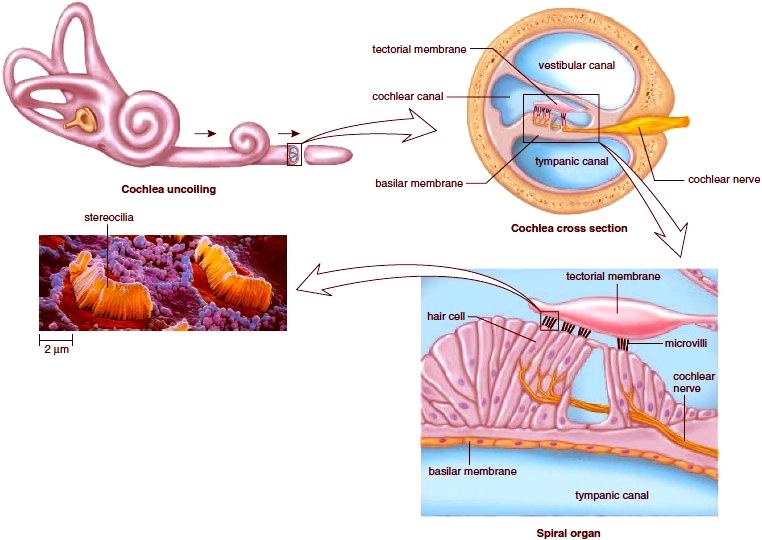 mechanoreceptors for hearing  figure 9 13 mechanoreceptors for hearing  the  spiral organ