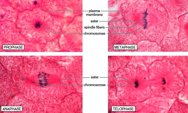 Micrographs of mitosis occurring in a whitefish embryo