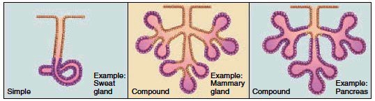 Multicellular exocrine glands
