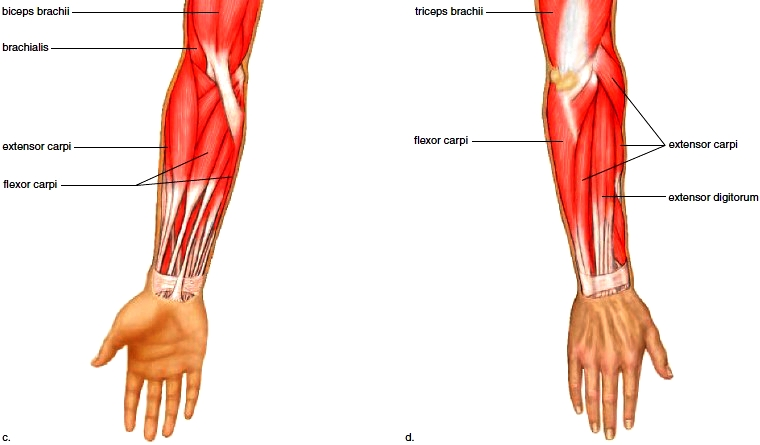 Muscles of the Shoulder. Muscles of the Arm. Muscles of the Forearm