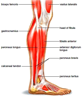 Muscles of the lateral right leg