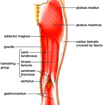 Muscles of the posterior right hip and thigh