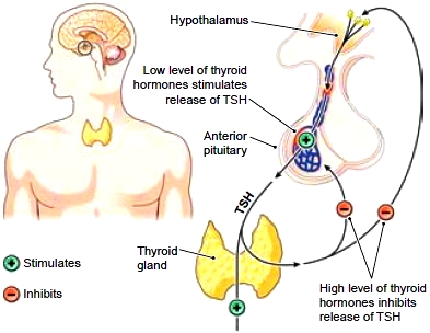 Negative feedback control of thyroid hormones