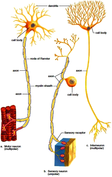 Nervous System. Divisions of the Nervous System. Nervous Tissue