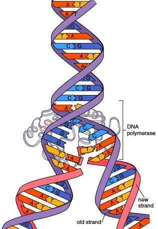 Overview of DNA replication