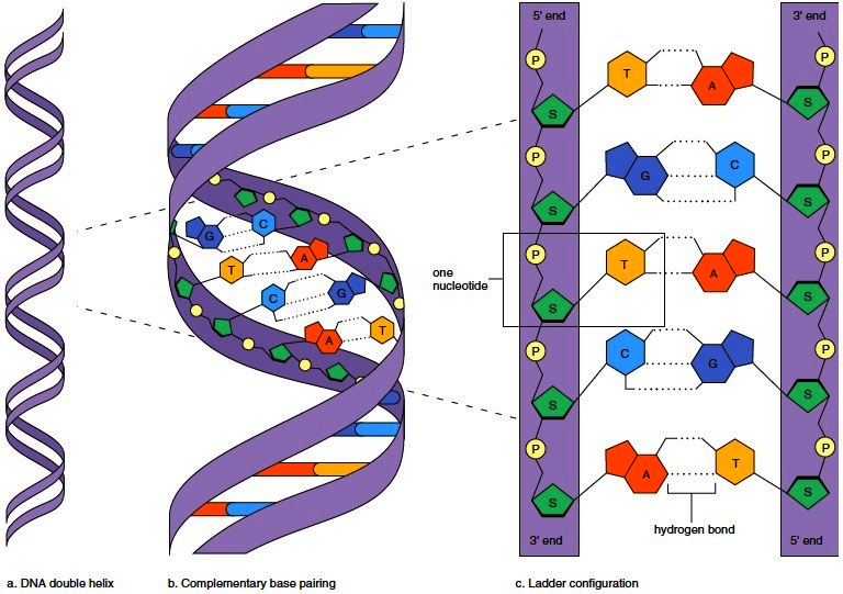 Nucleic acids dna deoxyribonucleic acid rna ribonucleic acid overview of dna structure ccuart Images