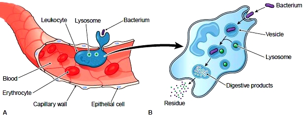 Blood Studies. Hematocrit. Hemoglobin Tests