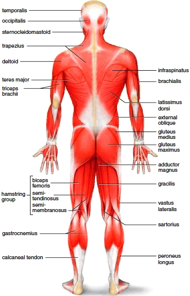 Posterior view of the body superficial skeletal muscles