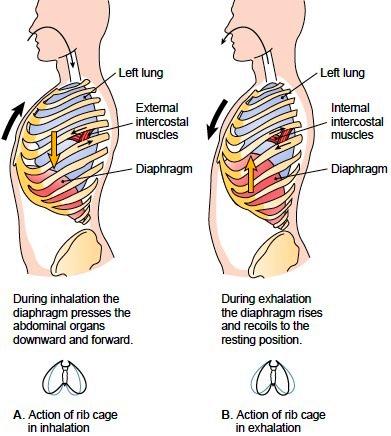 Process of respiration pulmonary ventilation pulmonary ventilation ccuart Images