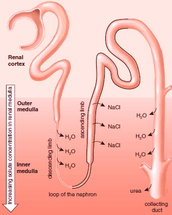 Reabsorption of water at the loop of the nephron