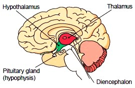 Regions of the diencephalon